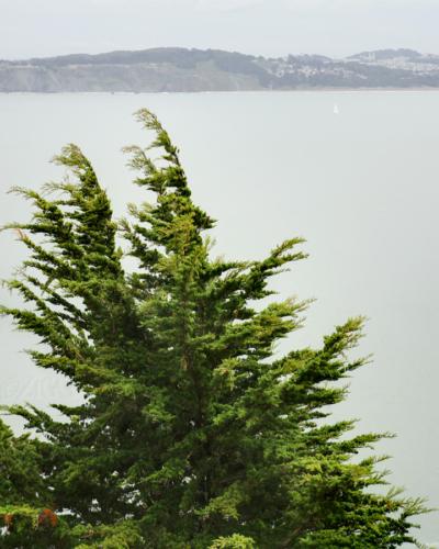 monterey cypress?